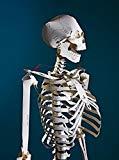 Taschen - Das menschliche Skelett Kit aus vorgeschnittenen Kartonelementen, Zubehör und Aufbauanleitung, bestellen